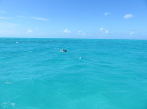 In the clear 10 feet deep water of Caicaos Bank you could see the porpoises coming